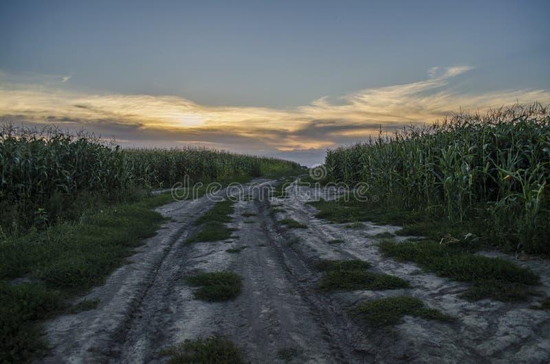 Stara wiejska droga po środku kukurydzanego pola w zmierzchu świetle Lato, krajobraz, Ukraina obraz stock