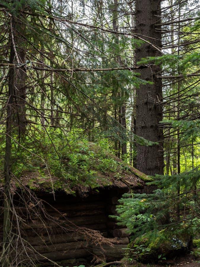 Stara zdewastowana łowiecka buda w lato świerczyny lesie zdjęcie royalty free