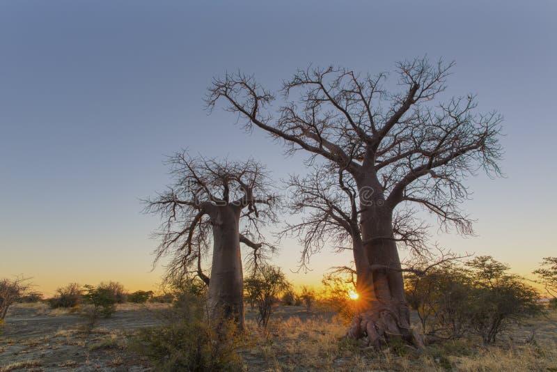Starburst de Sun en dos árboles del boabab fotos de archivo