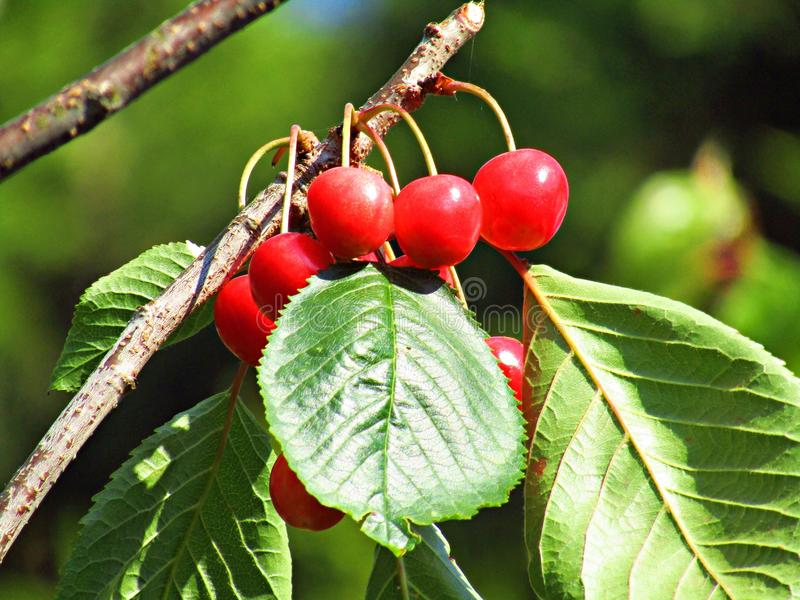 Stardust Cherries on a tree ripening in the sun. A bunch of red cherries on a tree in my garden ripening in the sun.the cherries are called stardust and are stock images