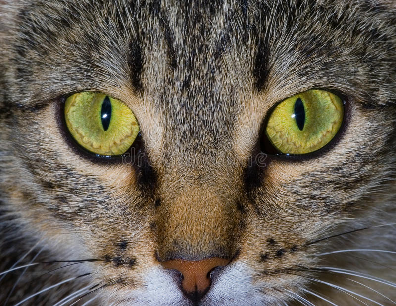 Download The Stare Of The Cat Stock Photography - Image: 37713222
