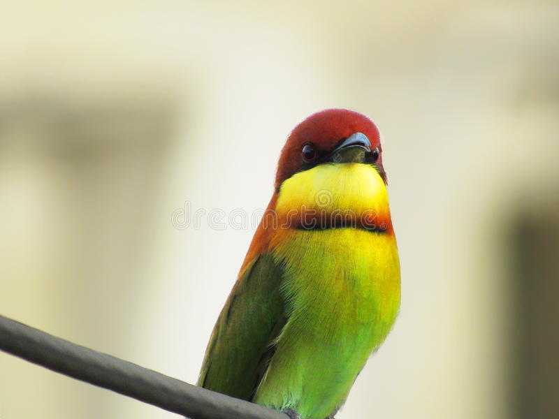 Stare From A Chestnut-headed Bee-eater, Merops leschenaulti. A closeup of a Chestnut-headed Bee-eater, a common garden bird in Malaysia, perching and staring stock image