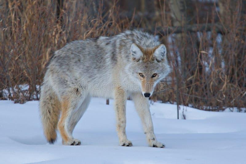 Stare del coyote fotografie stock libere da diritti