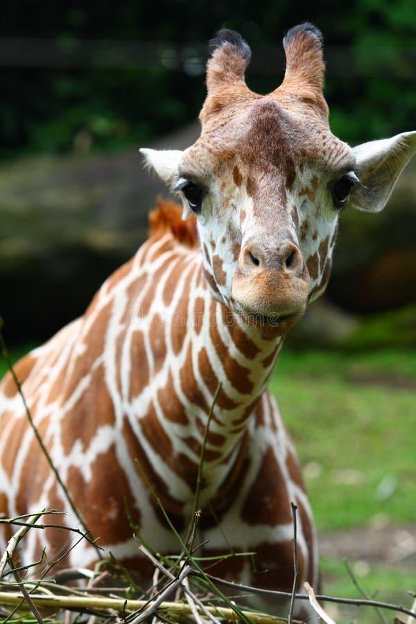 Stare della giraffa fotografie stock