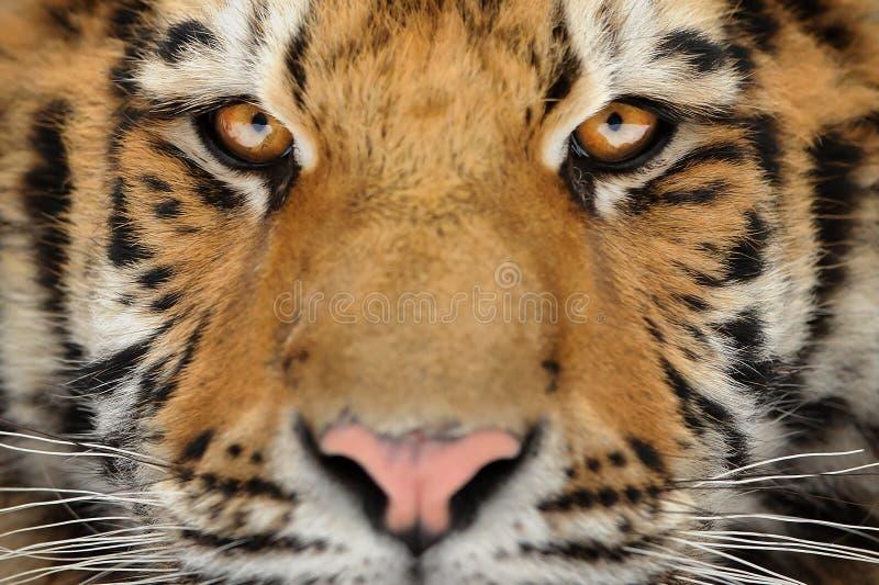 Stare des Mann tiger Aggressives Starrengesicht Gefahrenblick stockfotografie