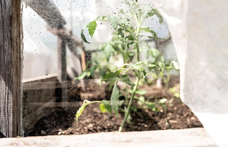 Stare drewniane ogrodowe szklarniane rośliny przez szkła zdjęcie royalty free