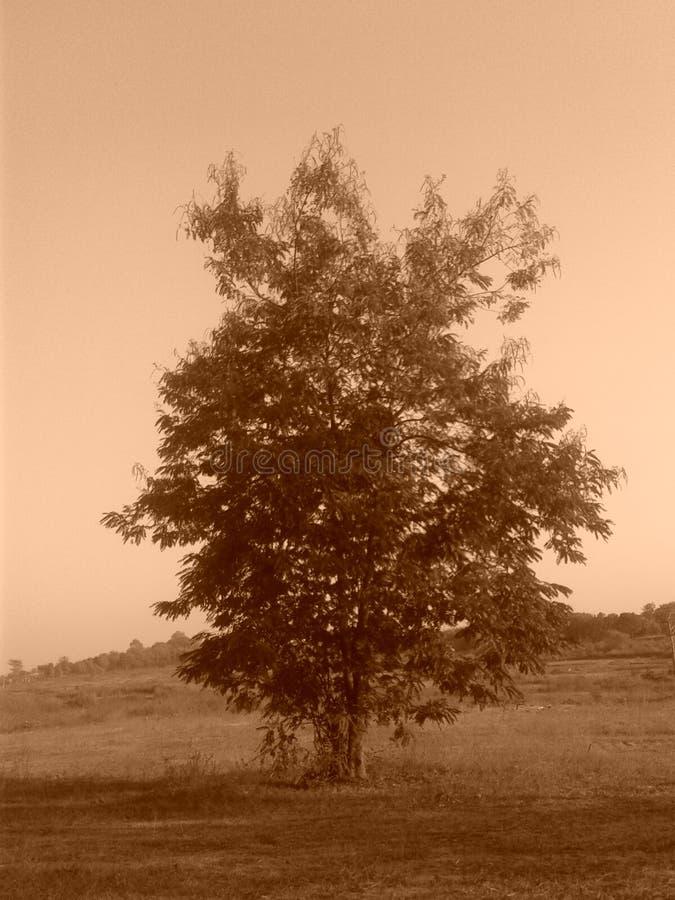 stare drzewo obraz royalty free