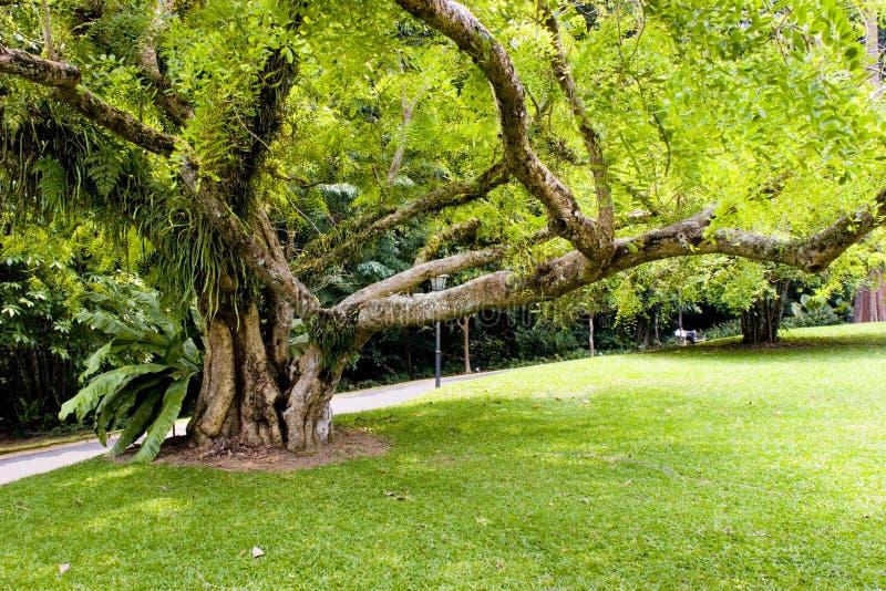 stare drzewo fotografia royalty free