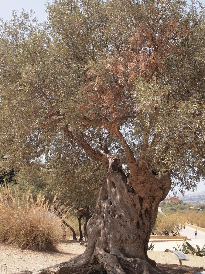 stare drzewo oliwne fotografia royalty free