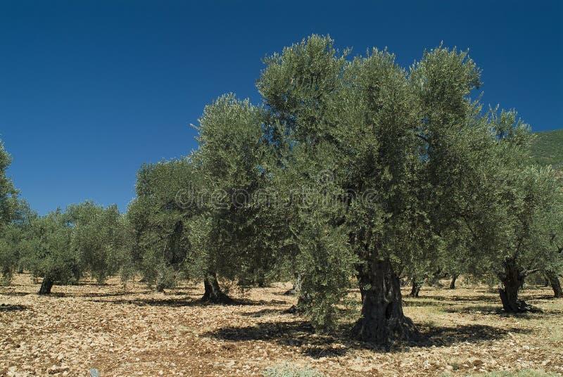 stare drzewo oliwne obrazy stock