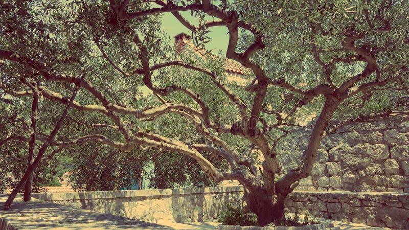 stare drzewo oliwne zdjęcie royalty free