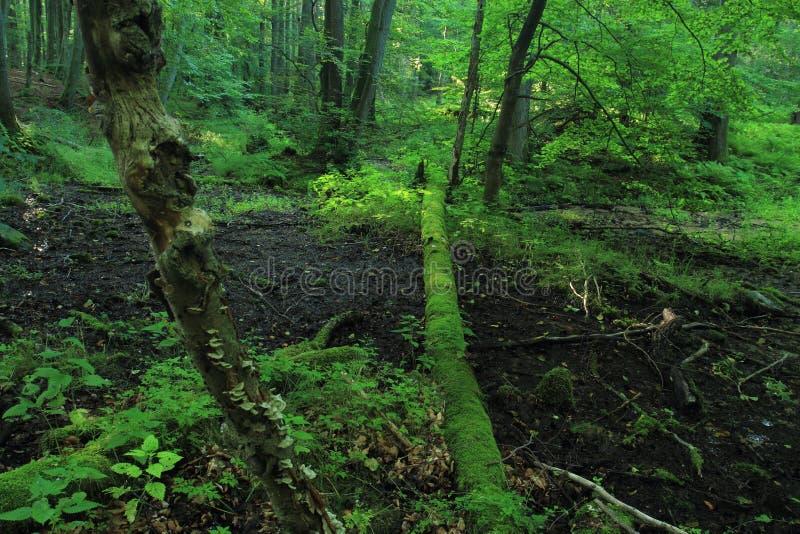 Stare drzewo padło w lasach rzecznych i pokryte mchami obrazy royalty free
