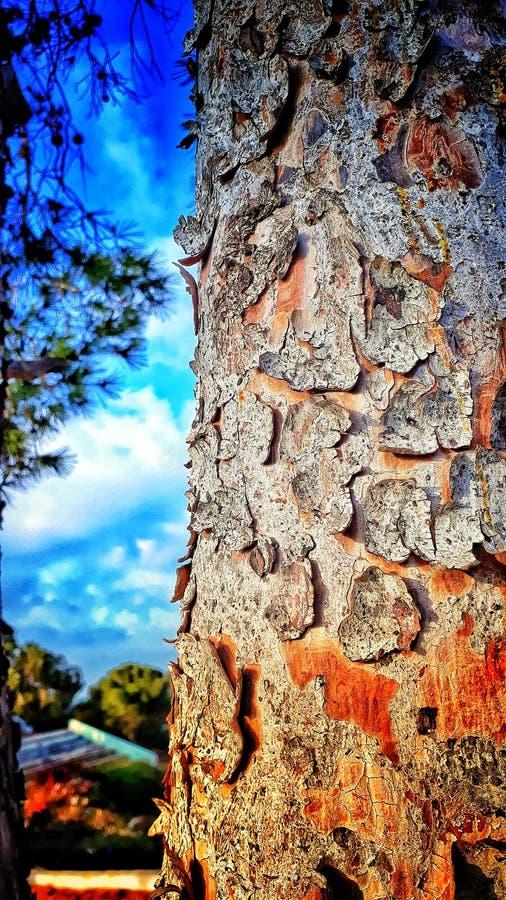 stare drzewo szczeka? obraz royalty free