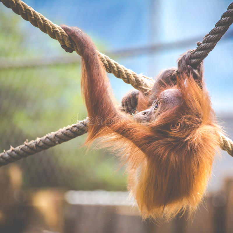 Stare of an orangutan baby, hanging on thick rope. A little great ape is going to be an alpha male. Human like monkey cub in stock photos