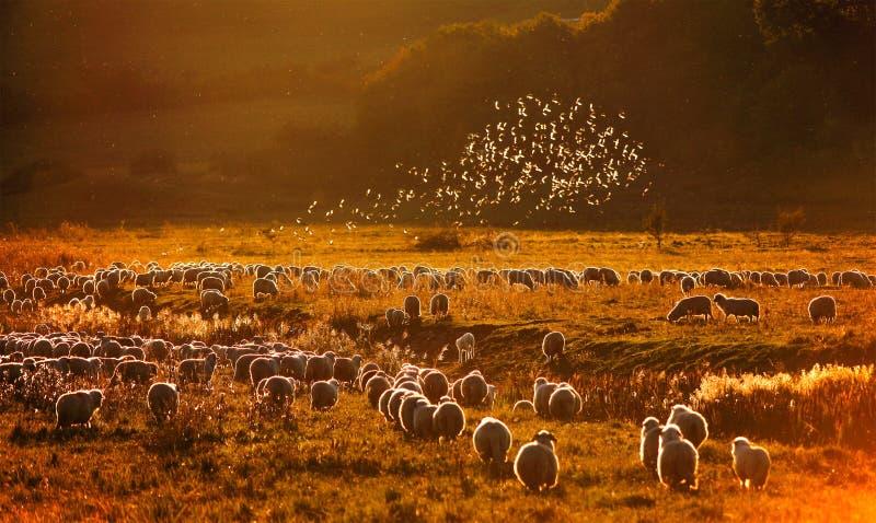 Stare ovanför sheepsna arkivbild