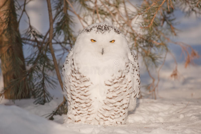 Download Stare of an owl stock photo. Image of yellow, nyctea - 18536490