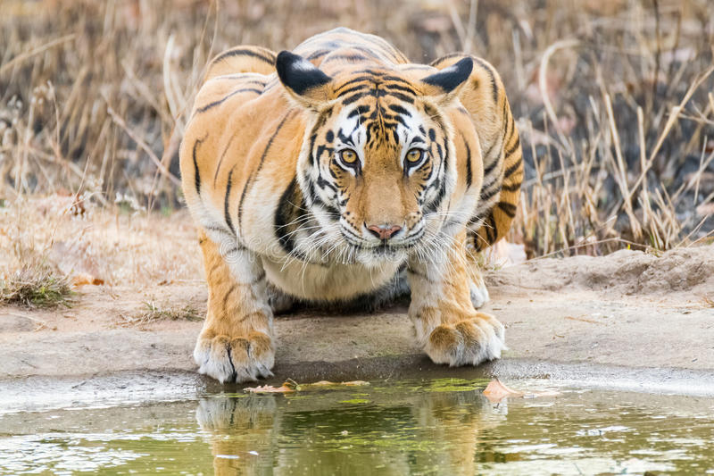 Stare of tigress. Stare of an `Indian Royal Bengal tigress while drinking in Bandhavgarh national park , India royalty free stock photo