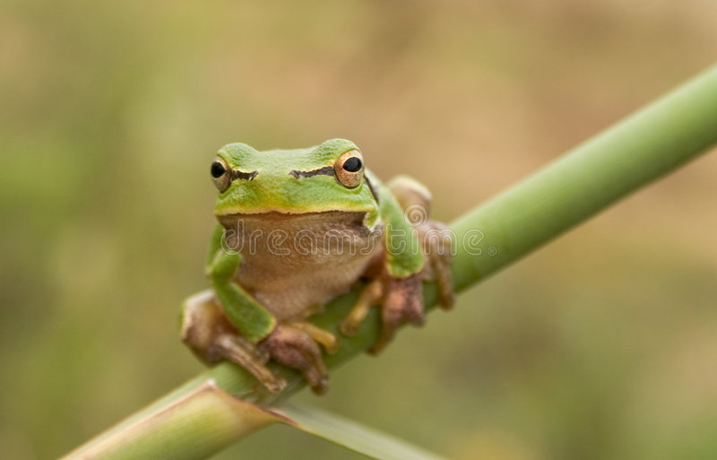 Stare of tree frog. Sitting on the stem royalty free stock photo