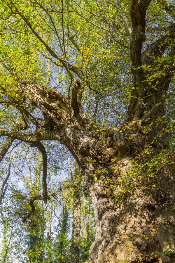 Stare, zgięte drzewo Linden jesienią obraz stock