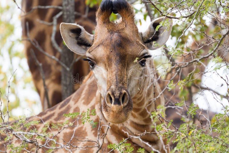 Staredown de la jirafa imagenes de archivo