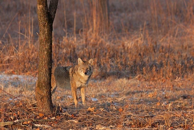 Staredown de la salida del sol del coyote foto de archivo