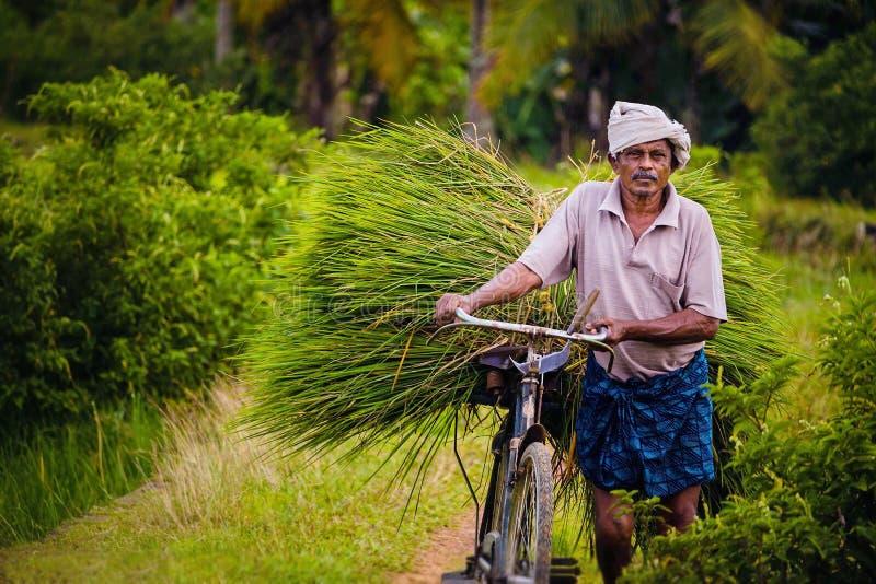 Starego człowieka odtransportowanie zbierał ryżowej rośliny w Kerala obrazy royalty free