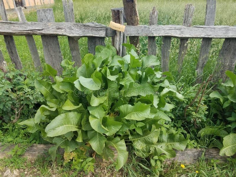 Starego drewna płotowe i zielone rośliny w ogródzie z znakiem który mówi horseradish fotografia stock