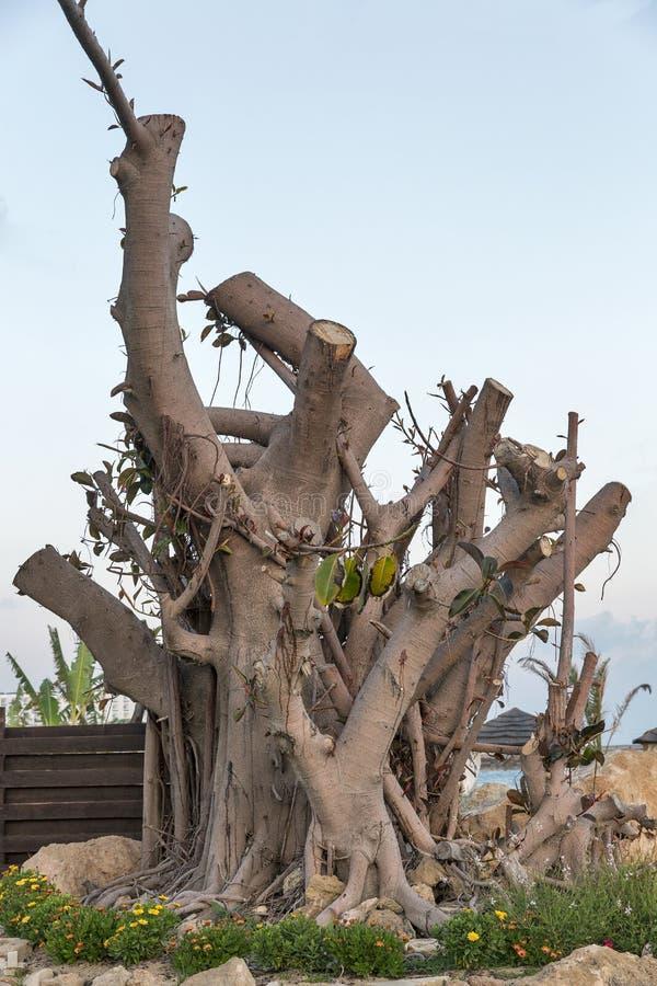 Starego ficus drzewny bagażnik fotografia stock