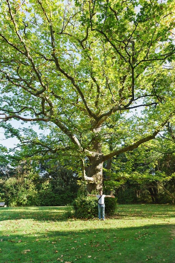 Starego ogromnego drzewnego jaworu lub płaskiego drzewa lat Platanus w Pogodnym parku Vorontsov pałac w Alupka obraz royalty free