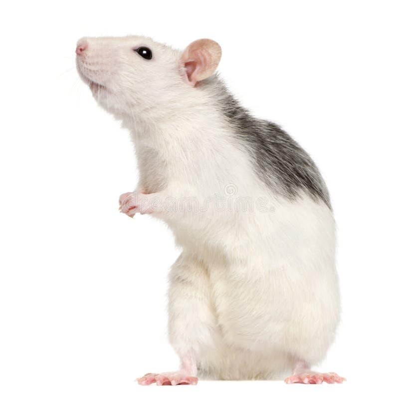 starego szczura 12 łuskowatego miesiąc obrazy royalty free