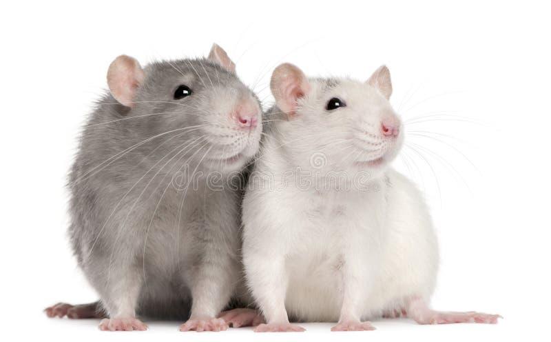 starego szczura 12 miesiąc dwa zdjęcie stock