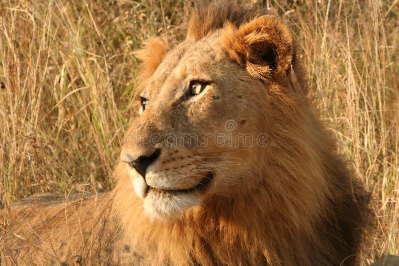 Starende leeuw royalty-vrije stock afbeeldingen