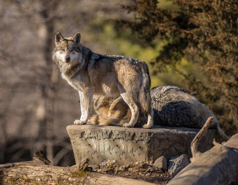 Starende Wolf bij Brookfield-Dierentuin stock foto's