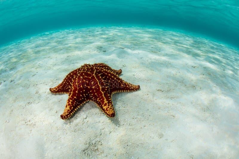 starfish карибского моря стоковая фотография rf