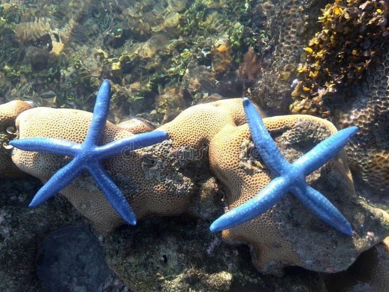 Starfish lizenzfreies stockfoto