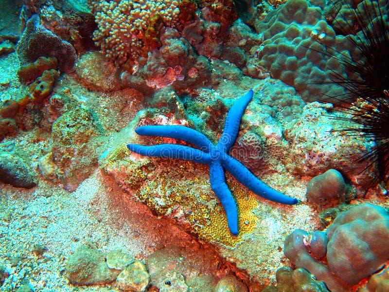 Download Starfish stock photo. Image of dive, underwater, trang - 19812514