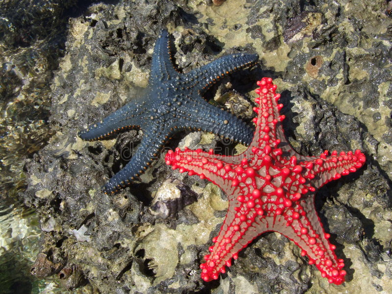 Starfish fotos de stock royalty free