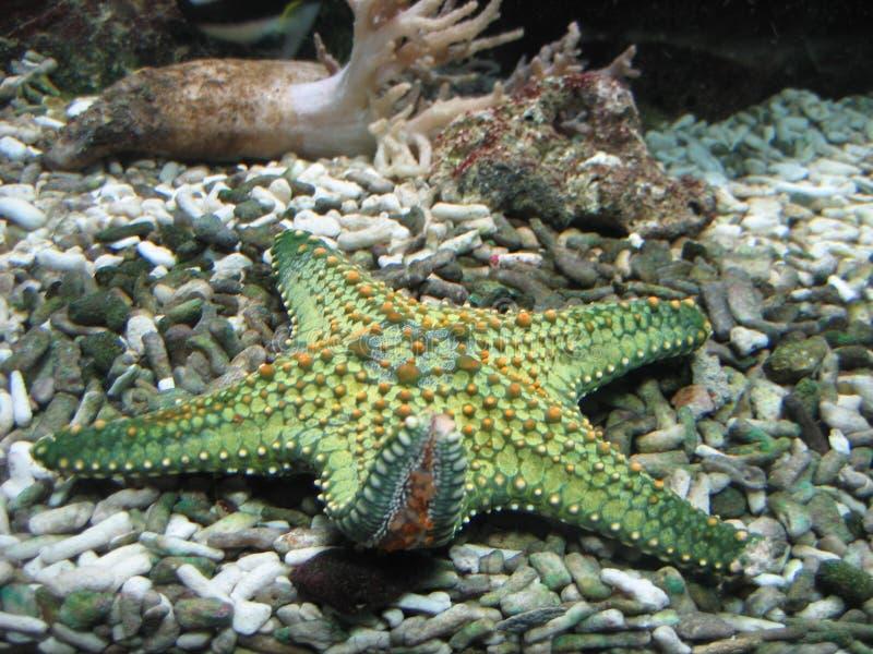 Starfish stockbild