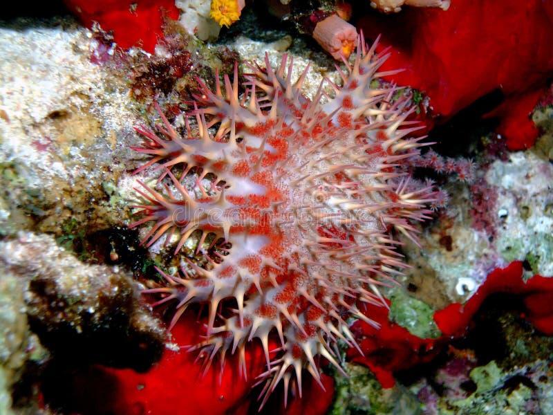 Download Starfish stock photo. Image of star, marine, underwater - 7443328