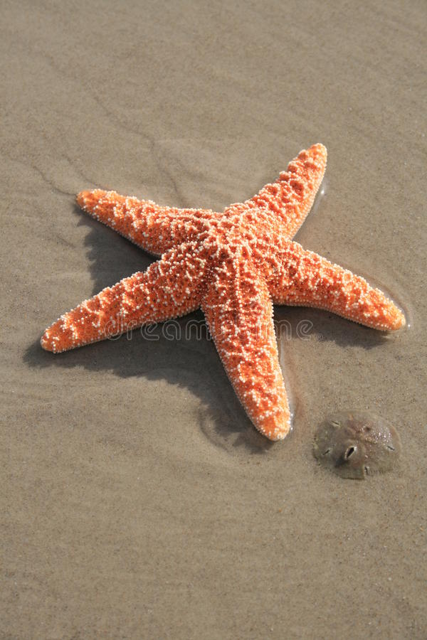 Free Starfish And Sand Dollar Stock Photo - 12018830