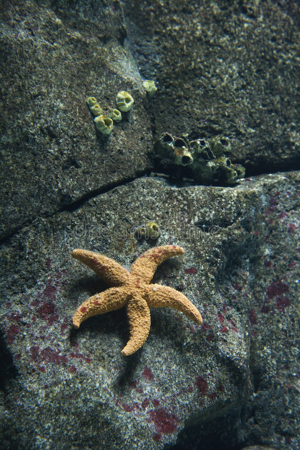 Starfish in aquarium in Lisbon, Spain. stock image