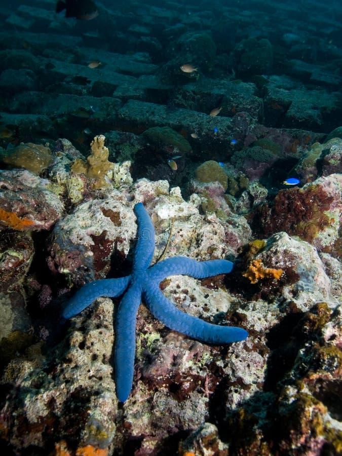 Starfish azuis foto de stock