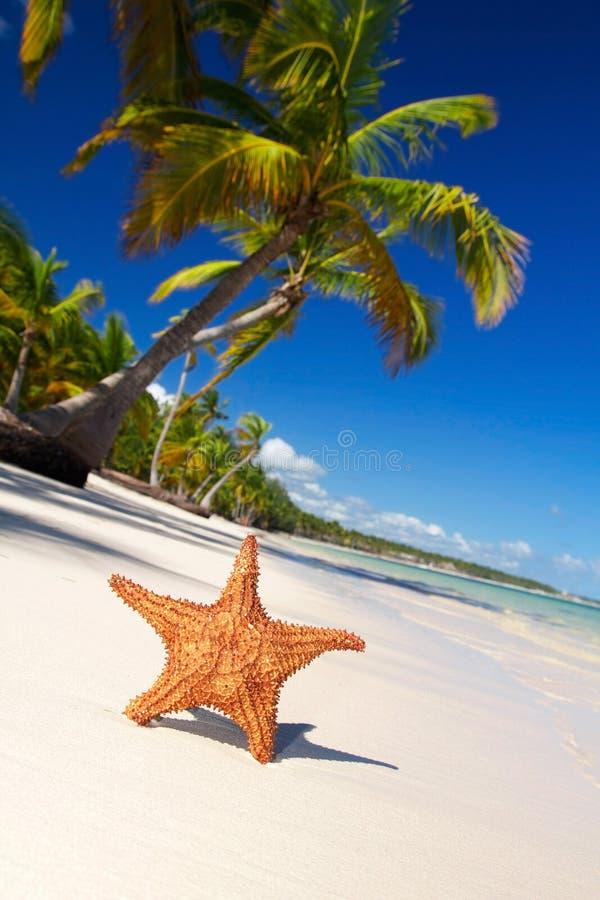 Starfish on caribbean beach royalty free stock photo