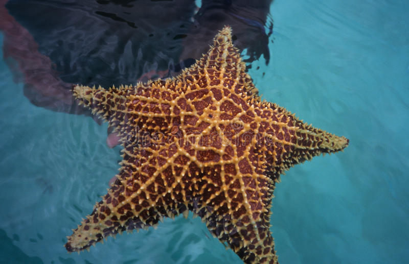 Starfish From Caribbean Sea  In Dominican Republic Stock Photo