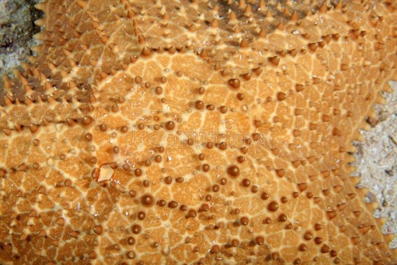 Starfish closeup stock image