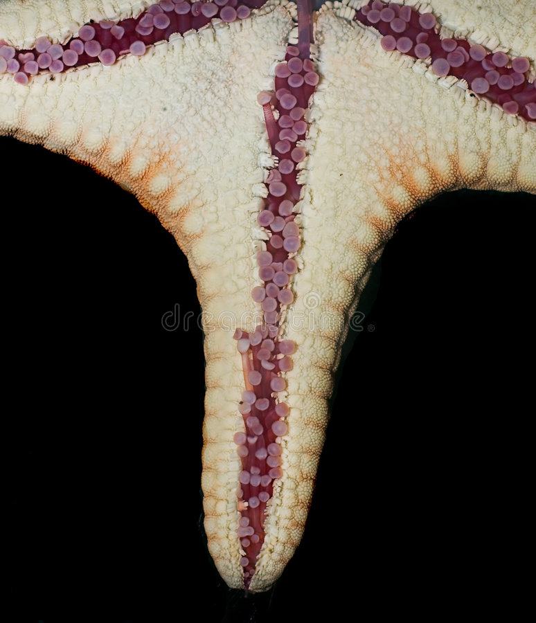 Starfish closup royalty free stock images