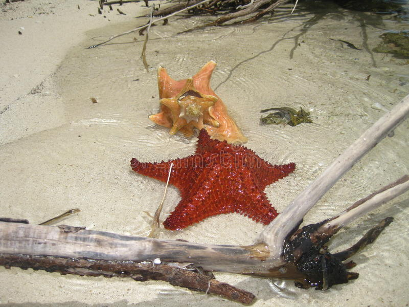 Starfish and Conch Shell Basking on a Beach stock image