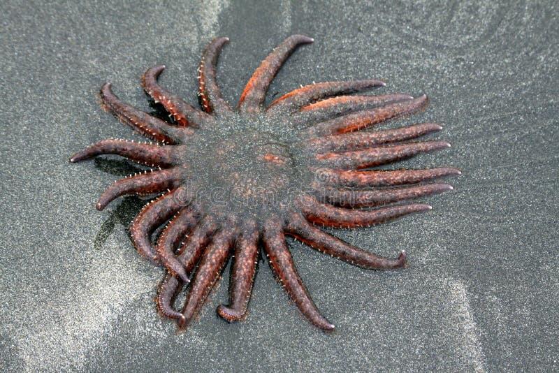 Starfish de Sun imagens de stock