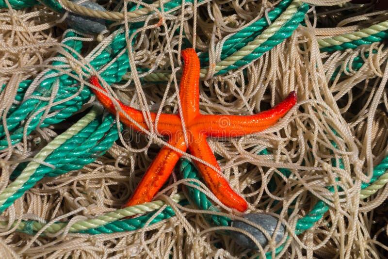 Starfish. Dried starfish on fishing nets stock photo