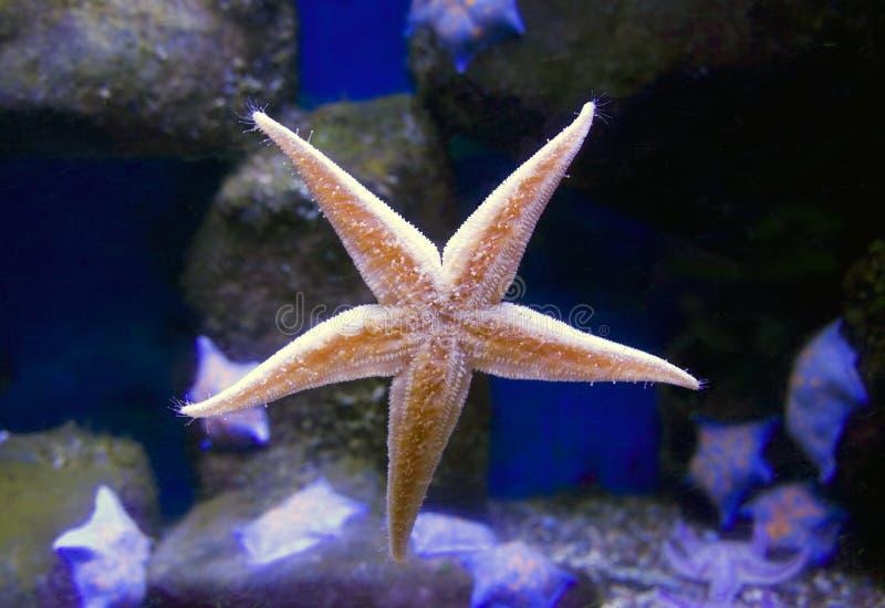 Starfish stock image